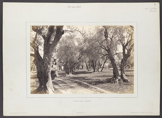 An Olive Grove. Jerusalem.