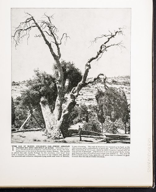 The Oak of Mamre; Abraham's Oak--where Abraham pitched his tent and built an altar