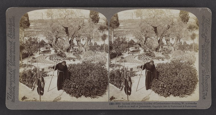 Ancient olive trees, Garden of Gethsemane--looking W. across the Kedron to wall of Jerusalem