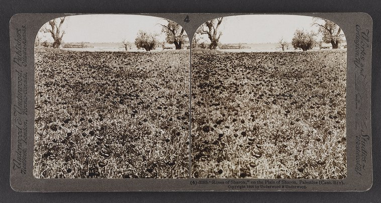 'Roses of Sharon,' on the Plain of Sharon, Palestine (Cant. ii :1)