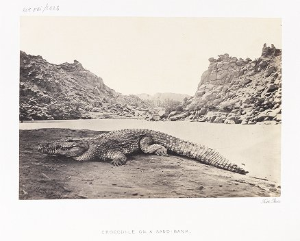 Crocodile on a Sand-bank